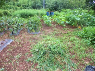 200730ナスの畝間と里芋の草取り完了