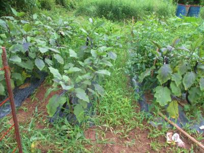 200730長茄子の畝間も草取り