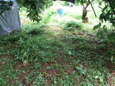 200803クリの木下の草刈