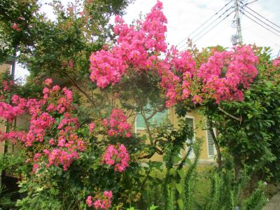 200803庭先の百日紅