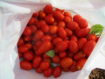 200816トマト収穫2