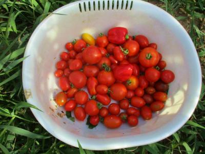 200816トマト数各3