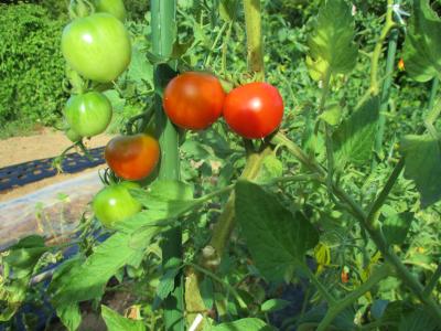 200816脇目からのトマトはこれから