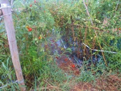 200828トマトに放水