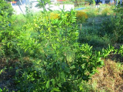 200828空き地の柑橘