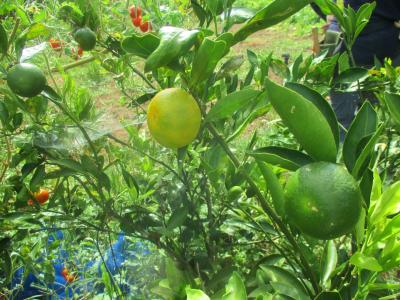 200902柑橘が色づいた