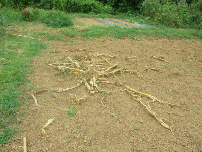 200904トウモロコシの残渣を放り投げ