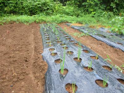 200912雨後の畑6