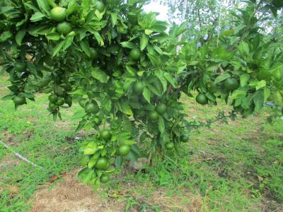 200921柑橘もたわわ