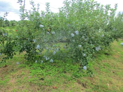200921時期を待つリンゴ