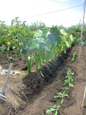 200921立派な里芋
