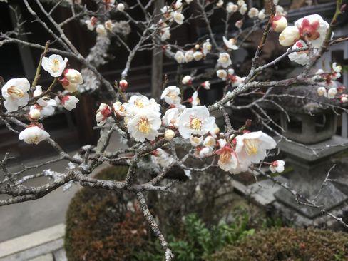 南禅寺・聴松院の梅_H31.02.10撮影