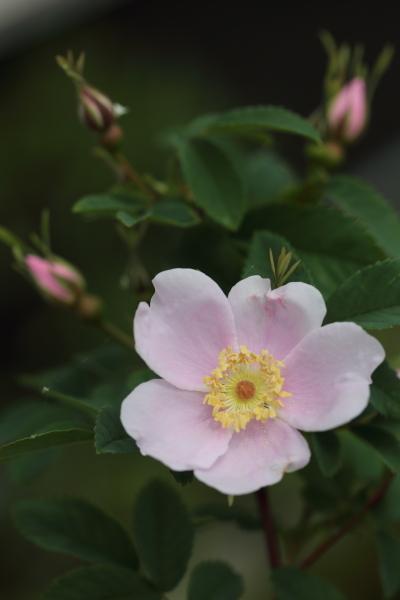 Rosa cinnamomea 20200614