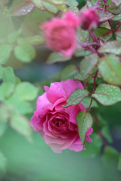 Flamant Rose20200615