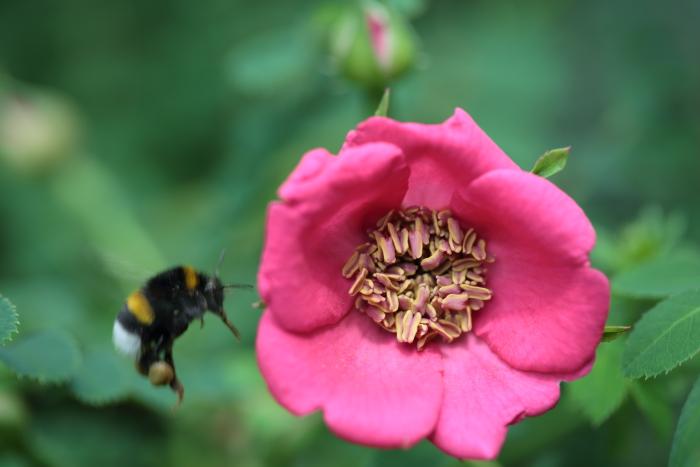 Rosa moyesii Geranium 20200617