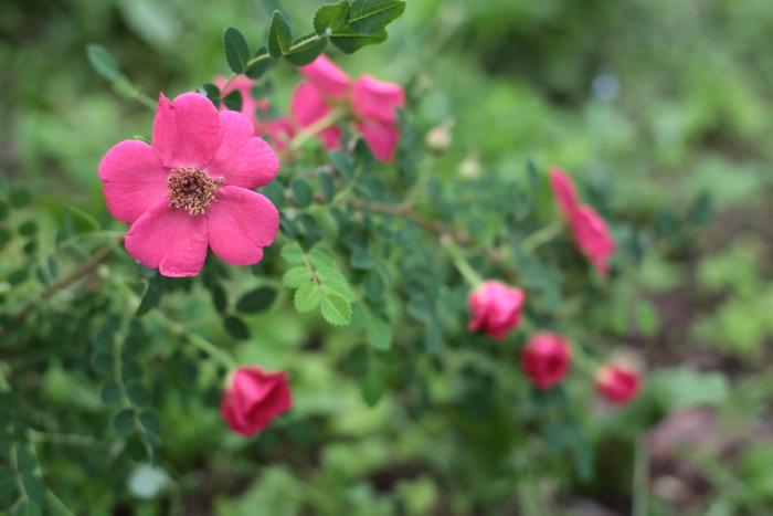 Rosa moyesii geranium2020062102