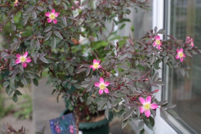 Rosa rubrifolia2020062001