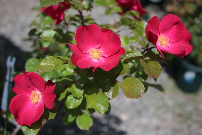 robusta20200617-02.jpg