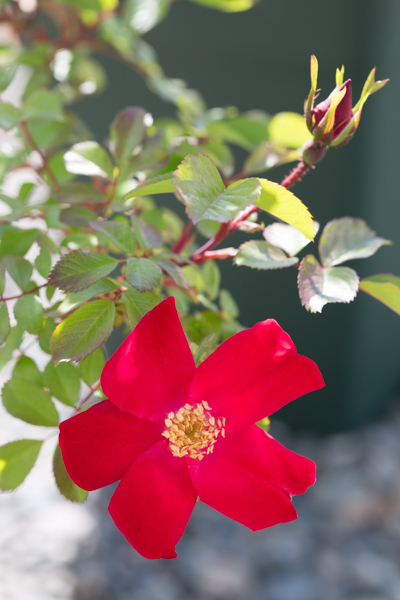 rose20200613-5911.jpg