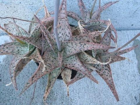 Aloe-Pink_Blush-5-2020.jpg