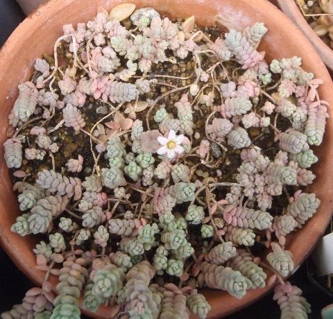 Sedum-brevifolium-2-2020.jpg