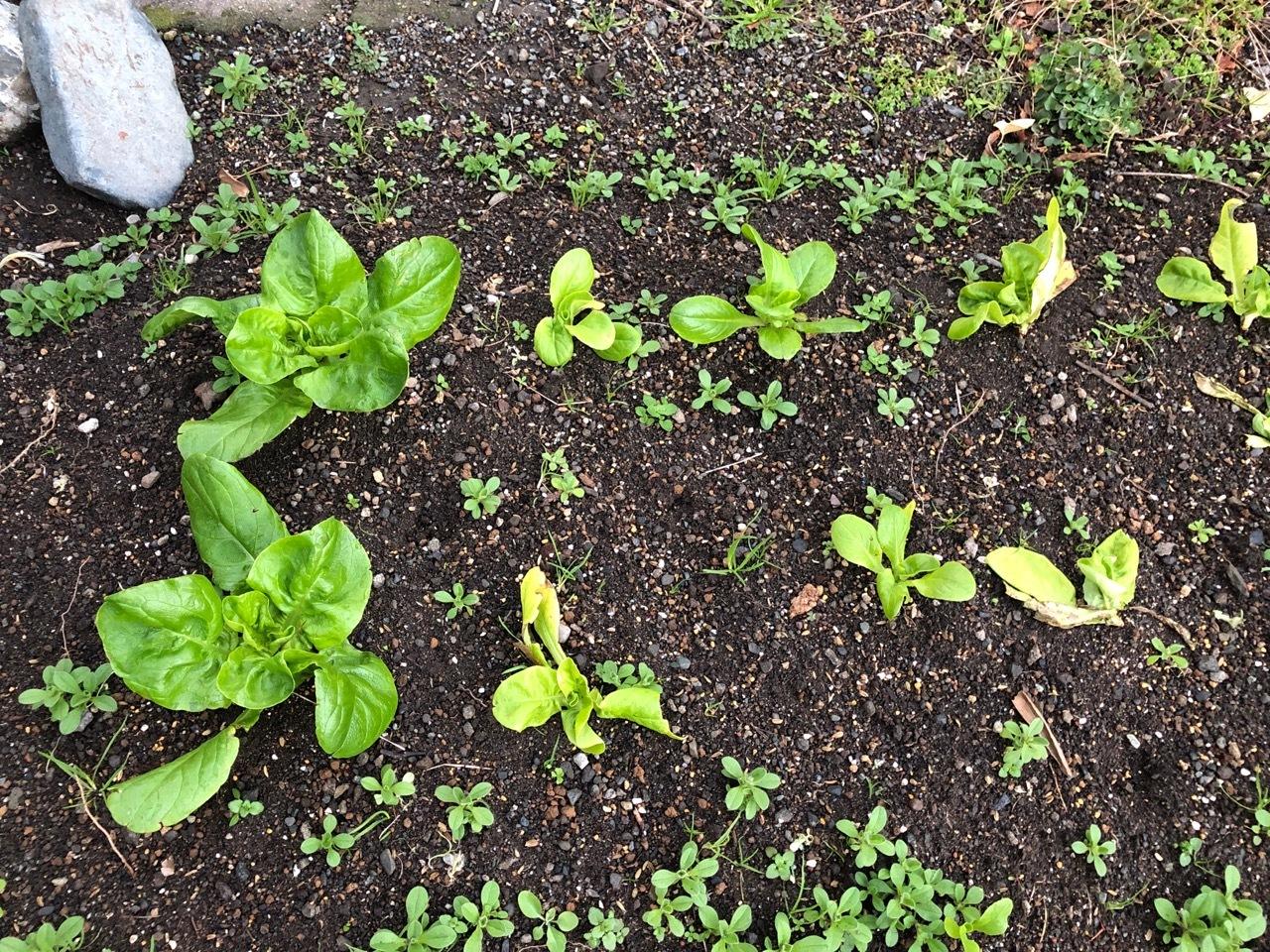 2020-1-21-1 サラダ菜
