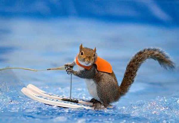 水上スキーをするリス
