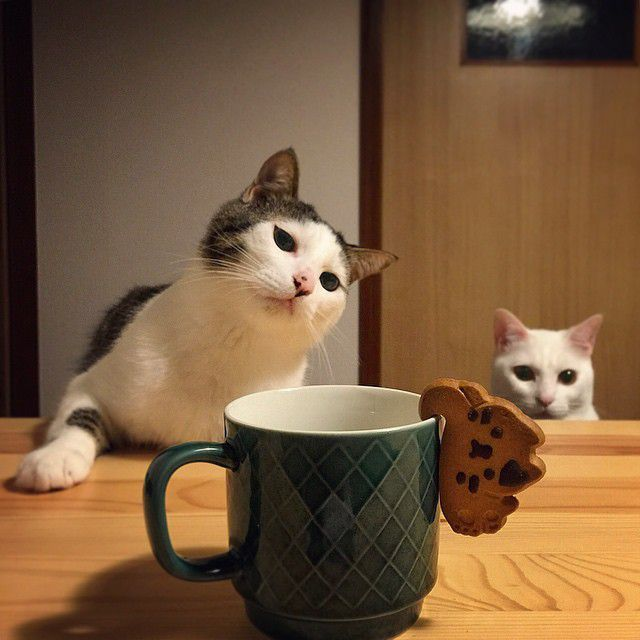 coffee cap-wo-mitsumeru-cat