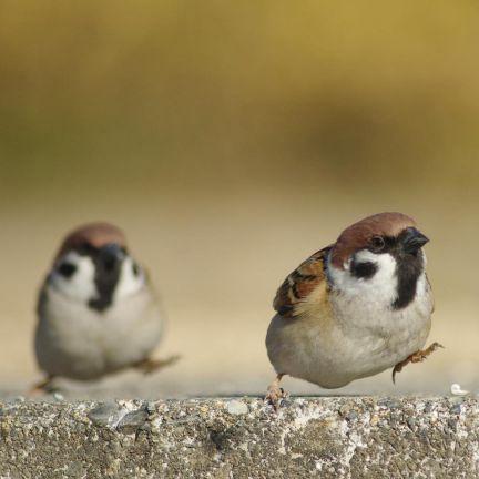 会話する 2匹の雀