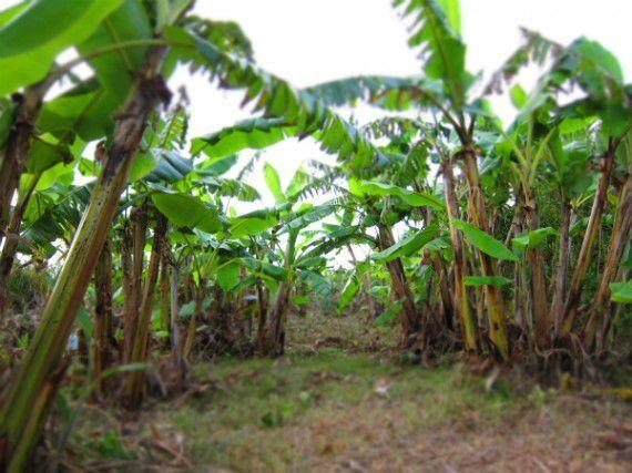 バナナの木が 増えていく 様子