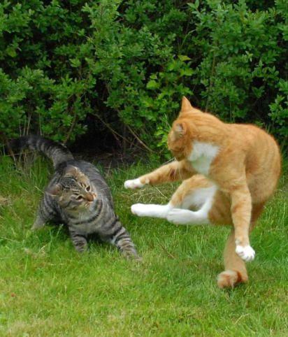 座頭市直伝のとび蹴りをかます猫