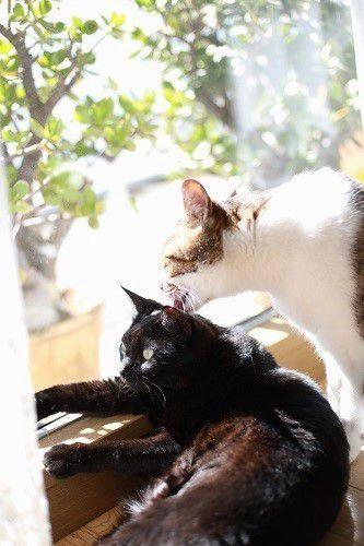 サクラを見破る 猫たち