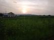 夕陽とヒマワリ