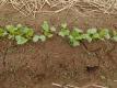 ダイコンの芽と雑草の芽