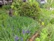 庭のアヤメ
