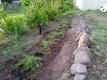 植えたシバザクラ