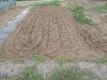 ハクサイ、レタスを植える場所