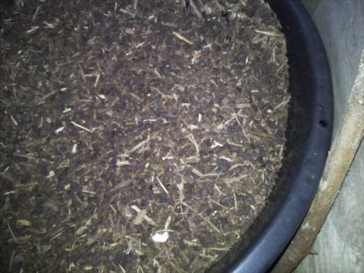 2020カブトムシの蛹 (7)
