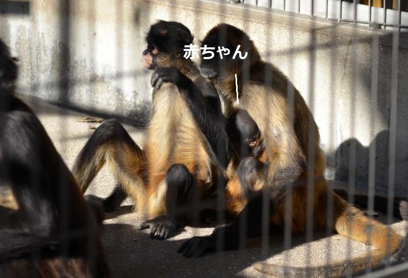 母子猿_6159