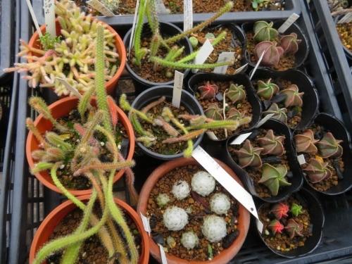 自家採取種子、ランポウ、リプサリス、アポロカクタスなど、いろいろ、まだまだな感じです。2020.05.23