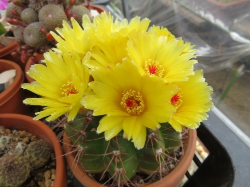 ノトカクタス・青王丸(Notocactus ottonis)、凄まじく花付きの良い優良品、満開花中♪2020.05.31