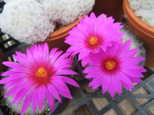 マミラリア・勲晃殿(Mammillaria guelzowiana)開花中♪2020.05.31