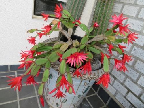 イースターカクタス(赤花)2020.06.04北側軒下で満開花♪