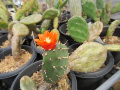 団扇サボテン・クイテンシス(ジョンソニー)Opuntia quitensis=johnsonii~開花中♪2020.06.06