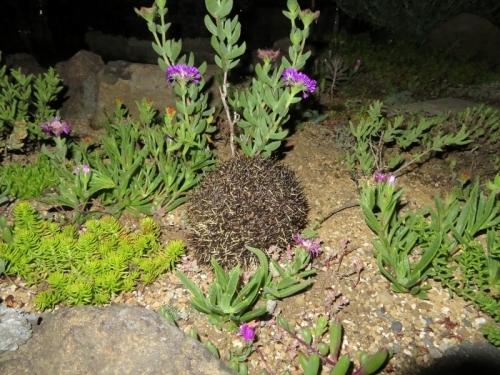エレプシア・千歳菊(Erepsia=(Kensitia) pillansii)は夜も咲いています♪2020.06.06