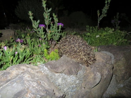 デロスペルマ・沙座蘭(Delosper sutherlandii)夜は閉じています♪。右はセダム・白花大唐米2020.06.06