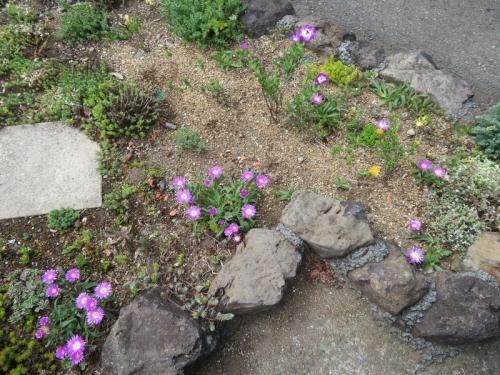 デロスペルマ・沙座蘭(Delosper sutherlandii)、エレプシア・千歳菊(Erepsia=(Kensitia) pillansii)キレイに開花中2020.05.24