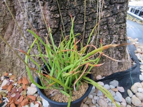 ハオルチア・ブラックブルニアエ(Hawoethia blackburniae)2020.06.09