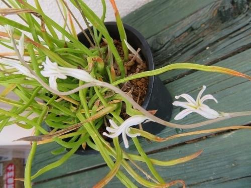 ハオルチア・ブラックブルニアエ、白い花♪(Hawoethia blackburniae)2020.06.09