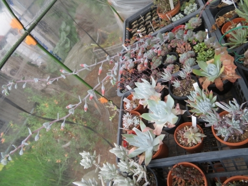 ダドレア・プルベルレンタ(Dudleya pulverulenta)l雪山、かなり大きな花序にオレンジ花開花中♪2020.06.13